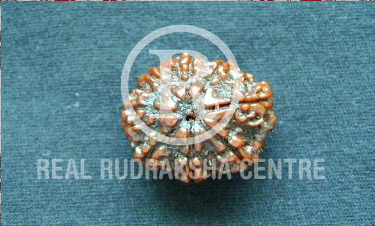 Power of Rudraksha